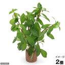 (水草)ライフマルチ(茶) ルドウィジア ブレビペス(水上葉)(無農薬)(2個)