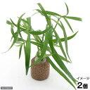 (水草)ライフマルチ(茶) ケニオイグサsp オレンジ(水上葉)(無農薬)(2個)
