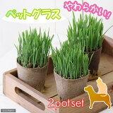(観葉)猫草 ネコちゃん人気No.1(ペットグラス) 直径8cmECOポット植え(2ポットセット) 猫草