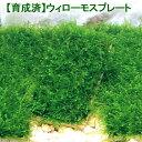 (水草)育成済 ウィローモスプレート(無農薬)(1個)