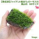 (水草)育成済 ジャイアント南米ウィローモス 風山石 SSサイズ(無農薬)(1個)