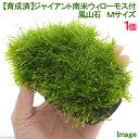 (水草)育成済 ジャイアント南米ウィローモス 風山石 Mサイズ(約14cm)(無農薬)(1個) 北海道航空便要保温