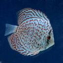 (熱帯魚)レッドダイヤモンド・ディスカス(Sサイズ)(1匹) 北海道・九州航空便要保温