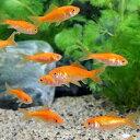 (金魚)生餌 小赤 エサ用金魚 大和郡山産(50匹) エサ金 餌金