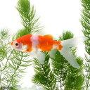 (国産金魚)桜コメット(1匹)