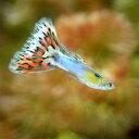 (熱帯魚)プラチナアクアマリンモザイク・グッピー(国産グッピー)(1ペア)