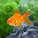 (国産金魚)琉金(リュウキン)(3匹)