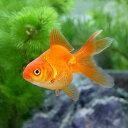 (国産金魚)琉金(リュウキン)(10匹)