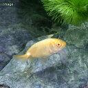 (国産金魚)アルビノらんちゅう(アルビノランチュウ)(1匹)