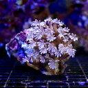 (海水魚 サンゴ)沖縄産 ツツウミヅタ ナローポリプ Sサイ...