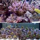 (海水魚 サンゴ)浅場ミドリイシ おまかせ品種(ブリード)(1個)