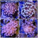 (海水魚 サンゴ)アワサンゴ ピンク(1個) 北海道・九州・沖縄航空便要保温