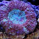 (海水魚 サンゴ)ハナガタサンゴ おまかせカラー Sサイズ(1個)