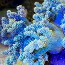 (海水魚 サンゴ)沖縄産 カワラフサトサカ ライトグリーン ...