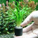 (水草)マルチリング・ブラック(黒) ピグミーチェーンサジタリア(無農薬)(2個)