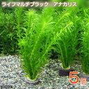 (水草)メダカ・金魚藻 マルチリング・ブラック(黒) アナカリス(5個) 北海道航空便要保温