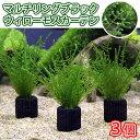 (水草)マルチリング・ブラック(黒) ウィローモスカーテン(無農薬)(3個)