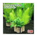 (水草 熱帯魚)ライフマルチ(茶) デルタ ナナプチカーテン(水上葉)(無農薬)(3個) 北海道航空便要保温