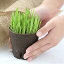 (観葉)長さで選べる ペットグラス 直径8cmECOポット植え(短め)(無農薬)(1ポット) 猫草