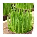 (観葉)長さで選べる イタリアンライグラス 直径8cmECOポット植え(発芽前)(無農薬)(1ポット)