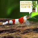 (エビ 水草)無選別 レッドビーシュリンプ 赤白バンド(5匹) + ライフマルチ(茶) おまかせロタラ(1個) 北海道航空便要保温