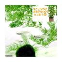 (めだか 水草)白メダカ初心者セット 白メダカ(12匹)+ライフマルチ(茶) おまかせロタラ(1個)