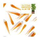 (めだか)(水草)楊貴妃メダカ初心者セット 楊貴妃メダカ(6匹)+ ライフマルチ(茶) おまかせロタラ(1個) 北海道・九州航空便要保温