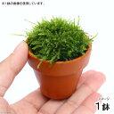 (水草)ウィローモス ふんわり ポコット(無農薬)(1鉢)