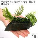 (水草)ボルビティス ヒュディロティ 風山石 Mサイズ(無農薬)(1個)
