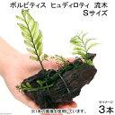 (水草)ボルビティス ヒュディロティ 流木 Sサイズ(約15cm)(無農薬)(3本)