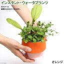 (水草)インスタント・ウォータプランツ(寄せ植え)(オレンジ)(1鉢) 本州・四国限定