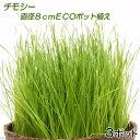 (観葉)チモシー 直径8cmECOポット植え(無農薬)(3ポット) 猫草
