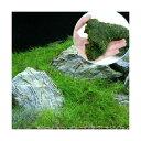 (水草 熱帯魚)ヘアーグラス ショート+巻きたて ウィローモス 流木 SSサイズ(約10cm)