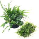(エビ 水草)人気の水草 寄せ植えミックス 育成済 ウィローモス 風山石とミナミヌマエビ付 北海道航空便要保温