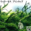 (水草)ウィローモス プリンカップ(無農薬)(1個) 北海道航空便要保温