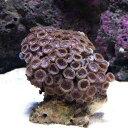 (海水魚 サンゴ)沖縄産 マメスナギンチャク ピンクベージュ Sサイズ(1個)