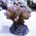 (海水魚 サンゴ)ハナヤサイサンゴ ミックス(1個) 北海道・九州・沖縄航空便要保温