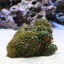(海水魚 サンゴ)ベトナム産マメスナギンチャク おまかせカラー Mサイズ(1個)