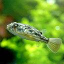 (熱帯魚)テトラオドン・ファハカ Sサイズ(1匹) 北海道・九州・沖縄航空便要保温