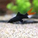 (熱帯魚)レッドテール・ブラックシャーク(1匹) 北海道・九州航空便要保温