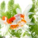 (金魚)ロングフィンらんちゅう(ロングフィンランチュウ)(1匹)