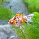 (国産金魚)キャリコ土佐錦(1匹)