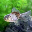 (国産金魚)青文魚(3匹)