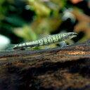 (熱帯魚)クリスタルグリーンダーター・テトラ ペルー(ワイルド)(1匹)