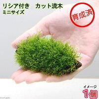 (水草)育成済 リシア付きカット流木 ミニサイズ(5〜7cm)(無農薬)(1本)