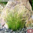 (水草)モスsp.ペルー産 グラスリング付き(無農薬)(3個)