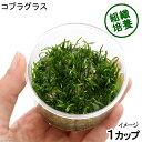 (水草)組織培養 コブラグラス(無農薬)(1カップ)