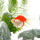 (国産金魚)玉サバ 更紗 山古志産(1匹)