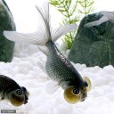 (国産金魚)銀水泡眼(1匹)