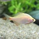 (淡水魚)イエローバラタナゴ(1匹)...
